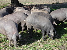 イベリコ豚画像.jpg