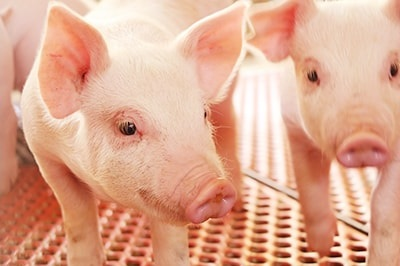 SPF豚.jpg